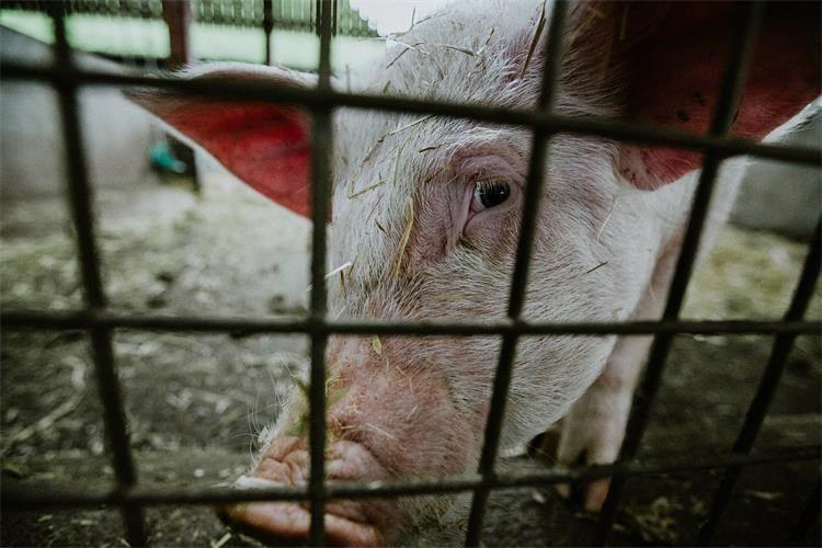 Zaštita domaćeg svinjogojstva od afričke svinjske kuge