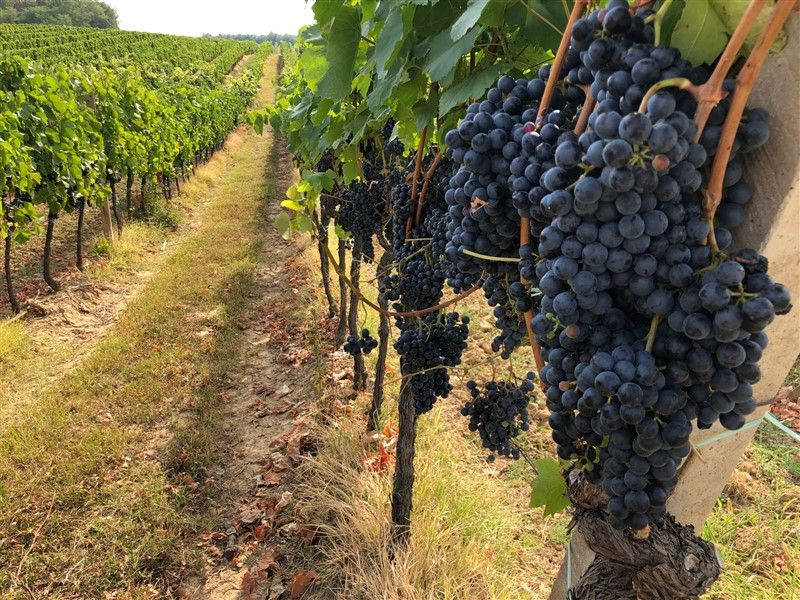 Započela berba u vinogradima Feravina