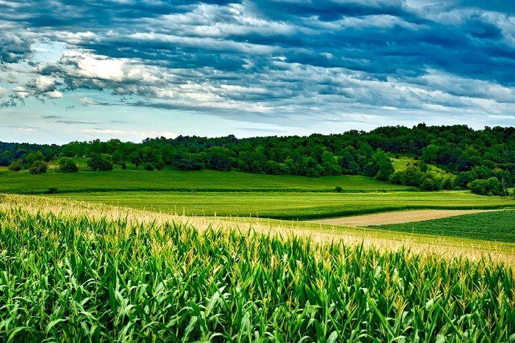 Ministarstvo poljoprivrede podsjeća na Naredbu o poduzimanju mjera obveznog uklanjanja ambrozije