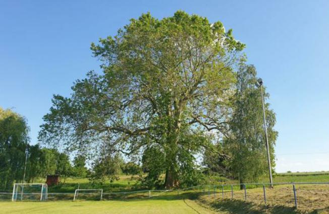 Hrvatsko stablo godine